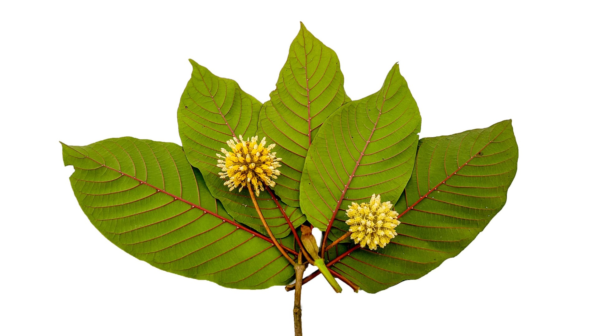 Which is the Best Pain Reliever: Kratom or CBD?